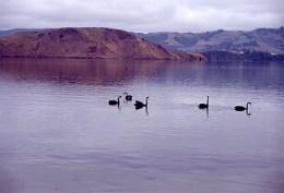 Black swans, Otago Harbour