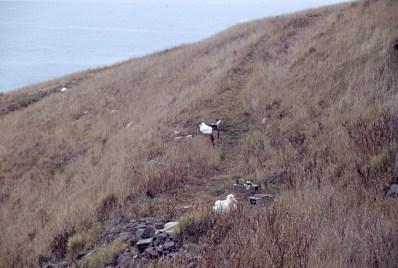 Albatross chicks
