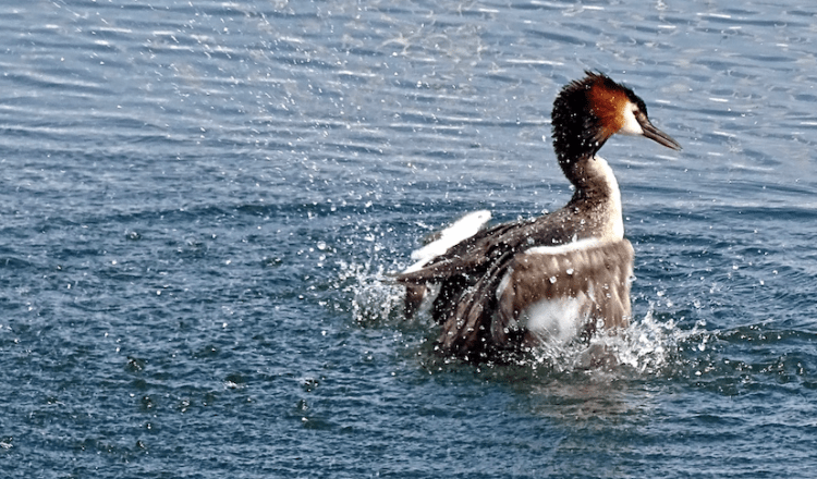 Slavonian Grebe stock image. Similiar to a duck brown with white markings/