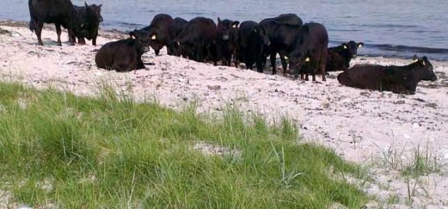 Køer tygger drøv på stranden ved Skansehage.