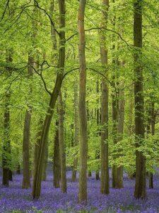 Chiltern Woodland bluebells Landscape Photography