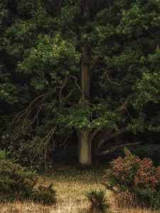 Chiltern Woodland Oak tree Landscape Photography