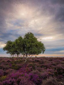 Heather Dunwich Heath, Suffolk Landscape Photography