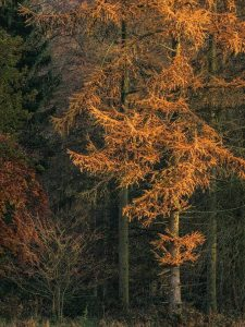 Landscape Photography of autumn larch tree