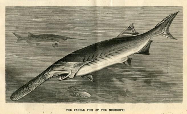 Paddlefish-SciAmer-olf