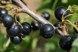 Černý rybíz (Ribes nigrum)