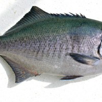 Catalina Blue Perch - Medialuna Californiensis