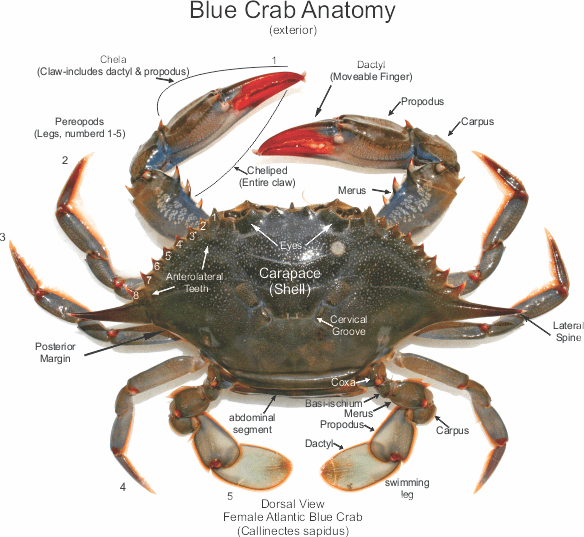 Blue Crab Anatomy - Best Crab For Food 2018