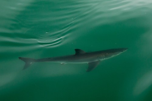 A juvenile Great White shark made an appearance near the surface last Friday just outside the OC Dana Point Harbor. Photo by Dale Fink, Capt. Dave's Dolphin & Whale Watching Safari