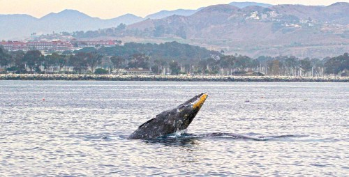 As California gray whales make their 10,000-roundtrip mile migration from Alaskan seas to Mexican lagoons, organizers of the Dana Point Festival of Whales are gearing up for their greenest event yet. Here, a gray whale breaches outside the Dana Point Harbor. Photo by Carla Mitroff for Dana Wharf Sportfishing & Whale Watching