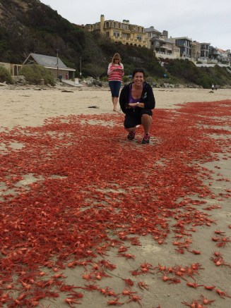 Donna Kalez, general manager of Dana Wharf Sportfishing & Whale Watching, takes a closer look at the carpet of red tuna crabs Sunday at Strand Beach and Salt Creek Beach. Photo: Courtesy