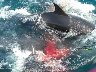 A false killer whale makes its debut alongside a Capt. Dave's Dolphin and Whale Safari boat, seconds after its March 19 birth off the coast of Dana Point. Photo: Lisa Brown/Capt. Dave's Dolphin and Whale Safari