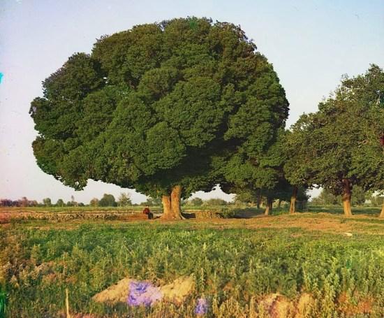 karagach tree