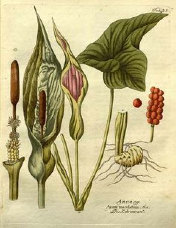 Botanical illustration of Lords and Ladies