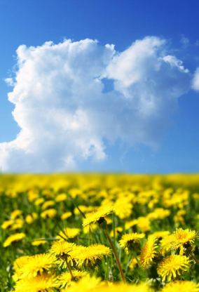 Field of Dandelions representing all of the dandelion dreamers our there