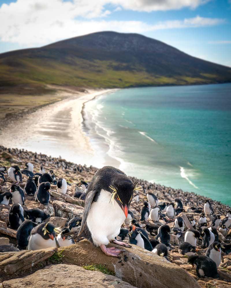 A Rockhopper penguin on the Falkland Islands