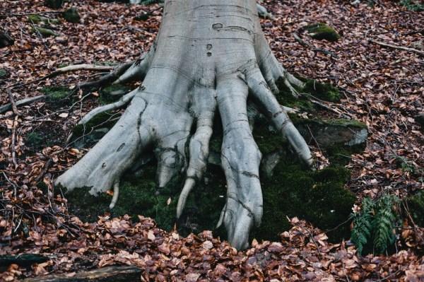 Tree root outside Cromford, February 2013