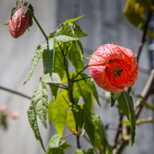 Red flowering bush in the church courtyard