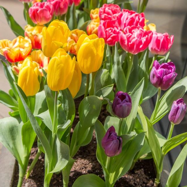 Tulips in the Crocker Galleria