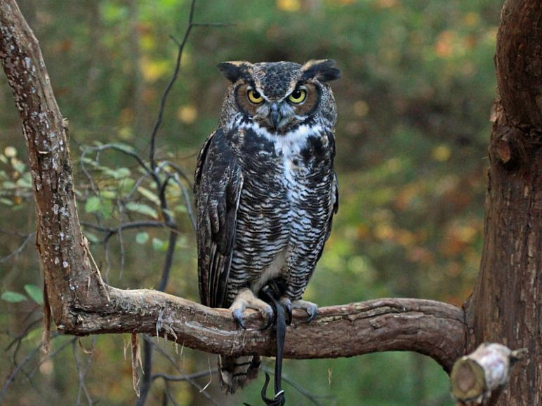 800px-Great-horned_Owl_RWD_at_CRC2