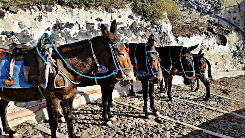Donkeys in Santorini - Santorini Hike