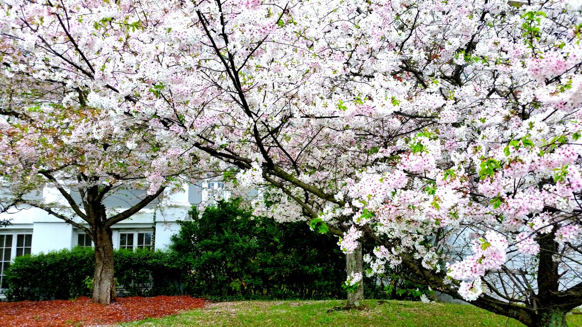 Awaken In Macon The Cherry Blossom Capital Of The World Dang Travelers