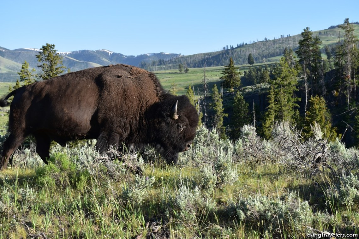 Bison along the Grand Canyon of the Yellowstone