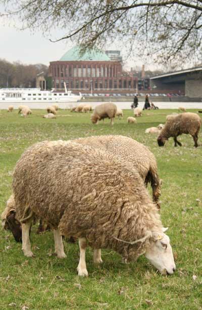 Schafe-vor-Tonhalle-Duessel.jpg
