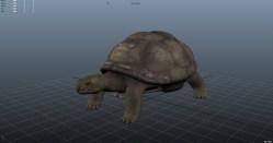 Giant Tortuga