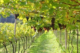 26751121 - ripe red wine grapes in trentino-alto adige, italy