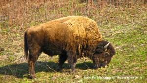 2-11-yukon-buffalo-2_sm