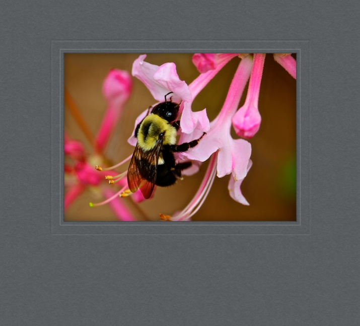 WILD-PINK-HONEY-SUCKLES_31718.jpg