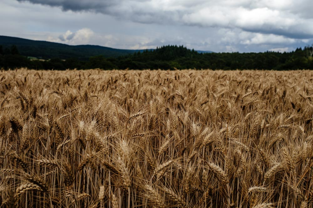 Germany_RheingauWheat