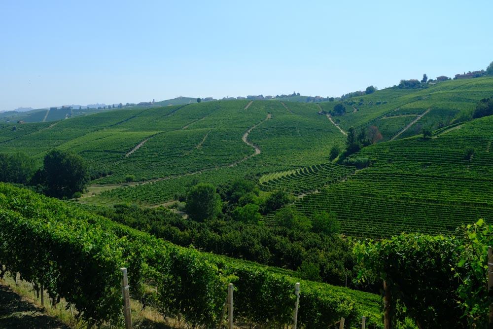 Italy_PiedmontVines