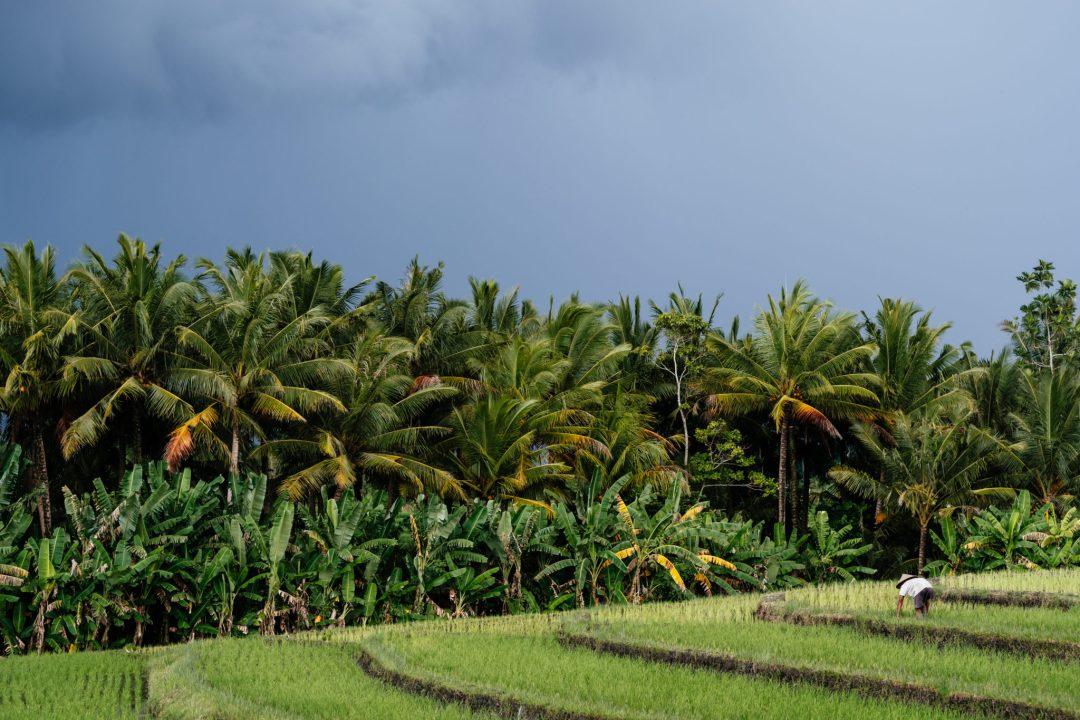 Bali_RiceWorker