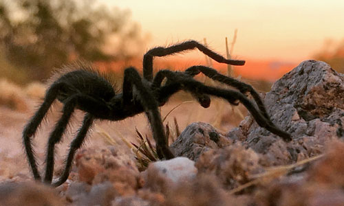 Tarantula in Mojave National Preserve