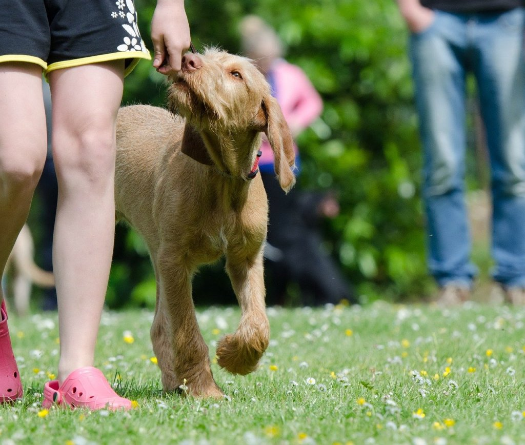 dog school, dog training, viszla