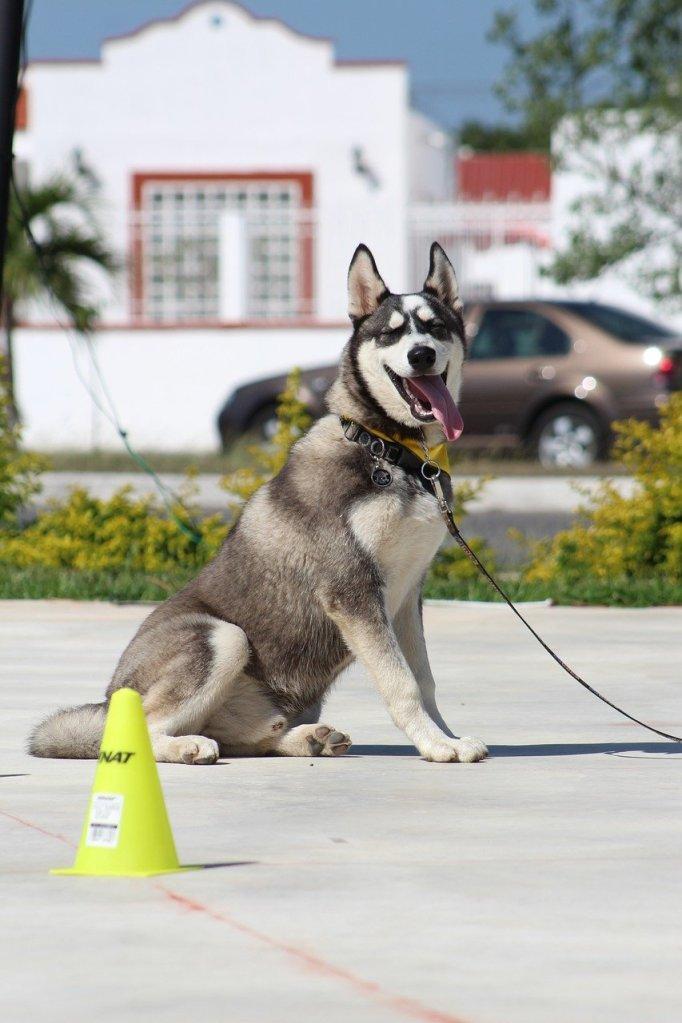 perro, stay, dog command