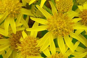 Florais da califórnia