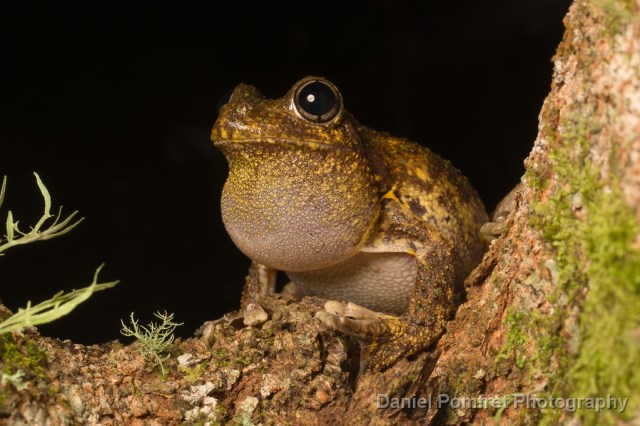 Emerald Spotted Tree frog (Litoria peronii)