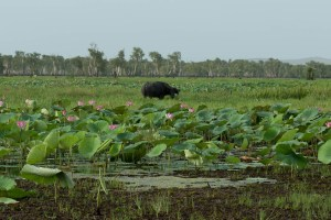 Distant Water Buffalo at Kakadu National Park