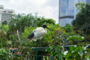Australian White Ibis in Brisbane