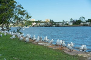 Seagulls at Brisbane River