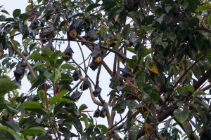 Flying Foxes in Cairns