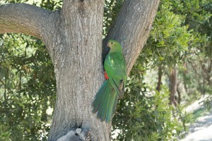 Another Parrot along Great Ocean Road
