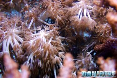 200709 coralli molli, xenia 11 Copyright by DaniReef