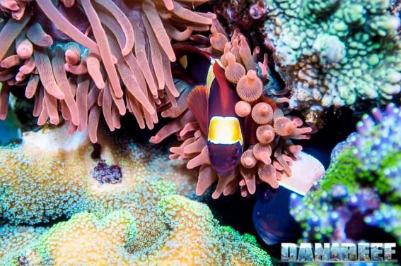 2015_01_DaniReef_Acquario_Massimiliano_Ghelfi_anemone, biaculeatus, entacmaea, pesci, premnas_55