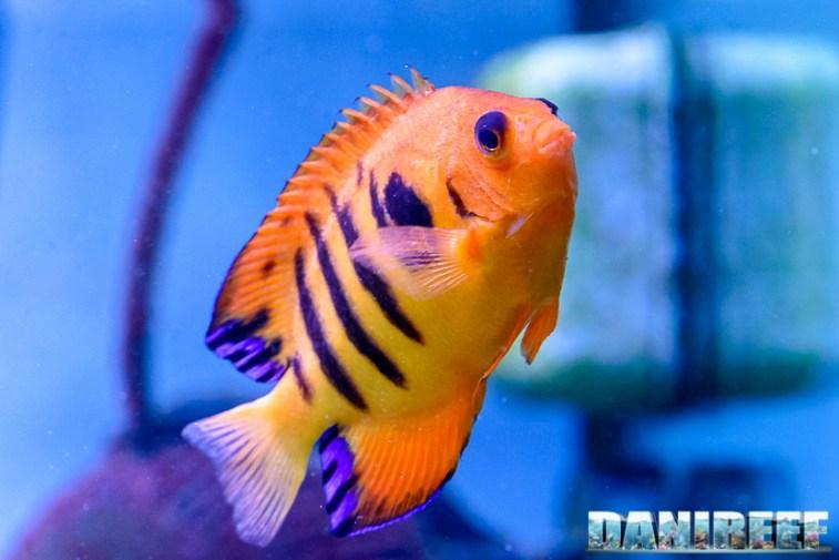 2015_01_DaniReef_Acquario_Massimiliano_Ghelfi_angelo, centropyge, loricula, pesci_48