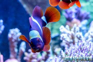 2015_01_DaniReef_Acquario_Massimiliano_Ghelfi_biaculeatus, pagliaccio, pesci, premnas_41