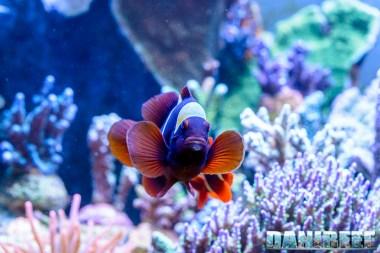 2015_01_DaniReef_Acquario_Massimiliano_Ghelfi_biaculeatus, pagliaccio, pesci, premnas_42